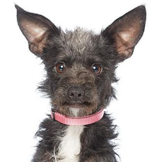 Terrier (Unknown Type, Small)/Schnauzer (Miniature) Mix Puppy for adoption in Los Angeles, California - Zooey Deschanel