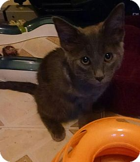 Domestic Shorthair Cat for adoption in Glendale, Arizona - Towlie