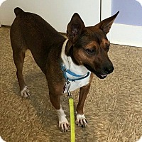 Basenji/Jack Russell Terrier Mix Dog for adoption in Youngstown, Ohio - Kane