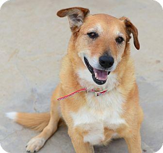 Retriever (Unknown Type)/Shepherd (Unknown Type) Mix Dog for adoption in Gardnerville, Nevada - Dakota
