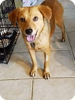 Labrador Retriever Mix Dog for adoption in Racine, Wisconsin - Satin