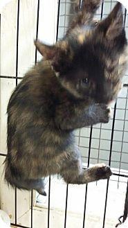 Calico Kitten for adoption in Maquoketa, Iowa - Unique