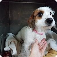 Adopt A Pet :: ABIGALE - Lubbock, TX