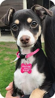 Fox Terrier (Smooth) Mix Puppy for adoption in La Verne, California - Bellatrix