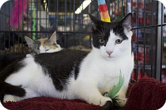 Domestic Shorthair Cat for adoption in Ellicott City, Maryland - .Max