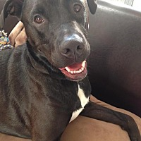 Labrador Retriever Mix Dog for adoption in Rancho Santa Margarita, California - ZZ-Sherlock *courtesy post