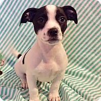 Adopt A Pet :: Petunia (BH) - Santa Ana, CA