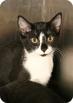 Domestic Shorthair Kitten for adoption in Secaucus, New Jersey - Fishy