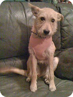 Terrier (Unknown Type, Medium)/Irish Terrier Mix Puppy for adoption in Phoenix, Arizona - Gracie