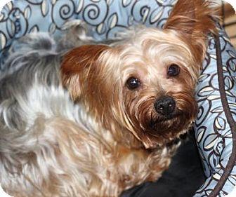 Katie | Adopted Dog | Atlanta, GA | Yorkie, Yorkshire Terrier Selkirk Rex Atlanta