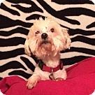 Adopt A Pet :: Little Lou
