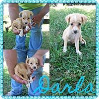 Adopt A Pet :: Darla - Stamford, CT
