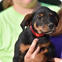 Adopt A Pet :: Hillary - Charlemont, MA