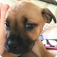 Adopt A Pet :: Emily - St Petersburg, FL