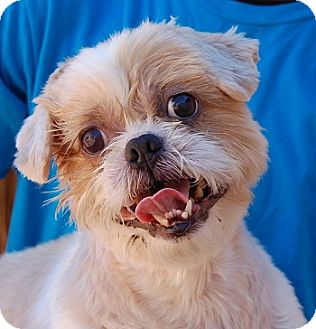 Shih Tzu Mix Dog for adoption in Las Vegas, Nevada - Gizmo