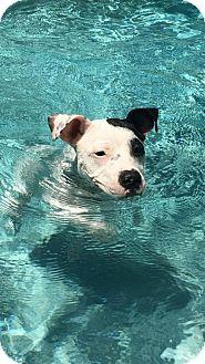 Pit Bull Terrier Mix Dog for adoption in Sarasota, Florida - Mia**Courtesy List**