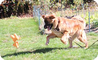 Leonberger Mix Dog for adoption in Medfield, Massachusetts - Leo
