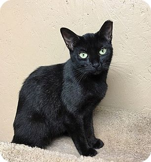 Domestic Shorthair Cat for adoption in Naperville, Illinois - Sabrina-PETITE SWEETIE
