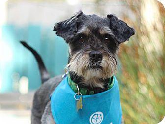 Standard Schnauzer/Dachshund Mix Dog for adoption in Pacific Grove, California - Grandpa
