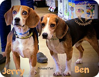 Beagle Mix Dog for adoption in Newport, Kentucky - Jerry (Bonded with Ben)