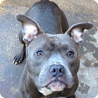 American Staffordshire Terrier/Staffordshire Bull Terrier Mix Dog for adoption in Conroe, Texas - Buster