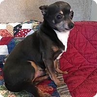 Adopt A Pet :: Noonie - Hurst, TX