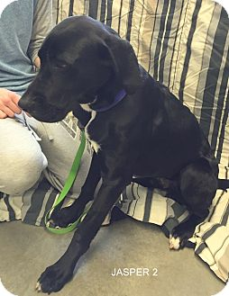 Great Dane/Labrador Retriever Mix Dog for adoption in Hibbing, Minnesota - JASPER