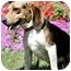Photo 4 - Beagle Mix Dog for adoption in Dumfries, Virginia - Luca