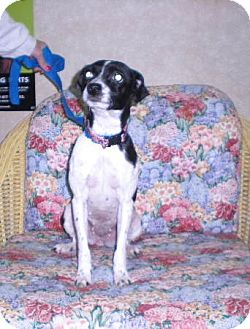 "Terrier (Unknown Type, Small) Mix Dog for adoption in New Castle, Pennsylvania - "" Penny """