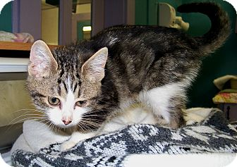 Domestic Mediumhair Kitten for adoption in Dover, Ohio - Penelope