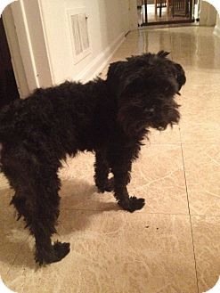 Poodle (Toy or Tea Cup) Dog for adoption in Chicago, Illinois - JAKE