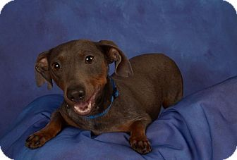 Dachshund Mix Dog for adoption in Pinellas Park, Florida - Blue