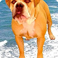 Adopt A Pet :: Duchess SUPER URGENT - Sacramento, CA