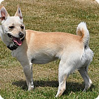 Adopt A Pet :: PeeWee - Tumwater, WA