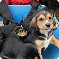 Adopt A Pet :: *Gilligan - PENDING - Westport, CT