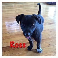 Adopt A Pet :: Ross - Homewood, AL