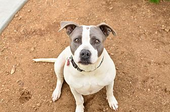 American Staffordshire Terrier/Pit Bull Terrier Mix Dog for adoption in Acton, California - Marshmellow