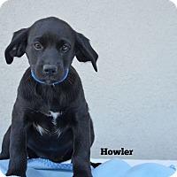 Adopt A Pet :: Howler - Old Saybrook, CT