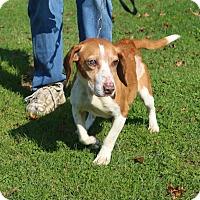 Adopt A Pet :: Nikki II - Transfer, PA