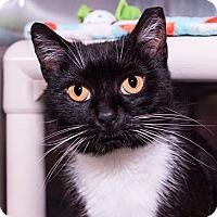Domestic Shorthair Cat for adoption in Seville, Ohio - Lolita-SPONSORED
