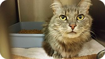 Domestic Longhair Cat for adoption in Muskegon, Michigan - ariel