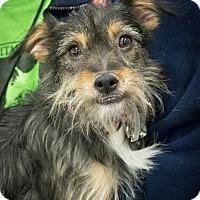 Adopt A Pet :: Lady - Loudonville, NY