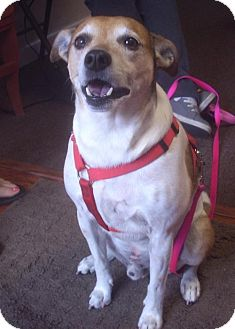 Rat Terrier Dog for adoption in Longview, Washington - Rocky & Angel