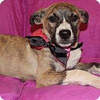 Adopt A Pet :: Brandi - Rochester, NY