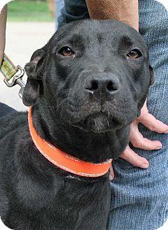 Labrador Retriever Dog for adoption in Fort Madison, Iowa - Aleena