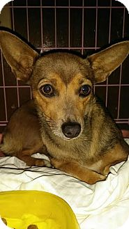 Dachshund/Jack Russell Terrier Mix Dog for adoption in Orange, California - Canella