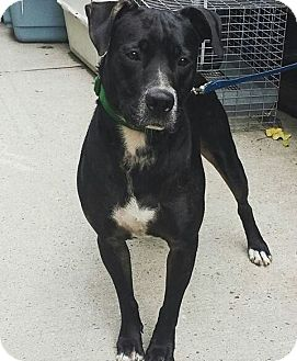 Labrador Retriever Mix Dog for adoption in Brooklyn, New York - Violet