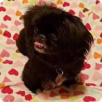 Pekingese Dog for adoption in Deltona, Florida - Joba