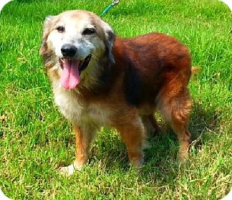 Golden Retriever/Shepherd (Unknown Type) Mix Dog for adoption in Simsbury, Connecticut - Brownie - Adoption Pending