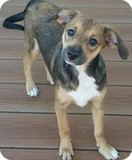 Beagle/Miniature Pinscher Mix Puppy for adoption in Richmond, Virginia - Genny